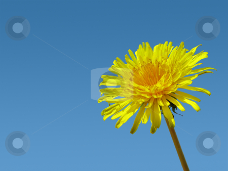 Dandelion weed and blue sky. stock photo, Dandelion weed and blue sky. by Stephen Rees