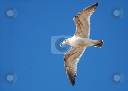 Seagull Flying stock photo, White and brown seagull flying with blue sky in the background. by Denis Radovanovic