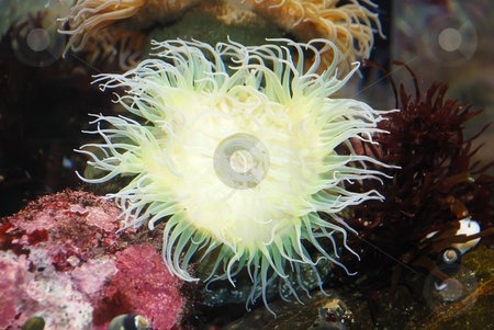 White Sea Anemone stock photo, White sea anemone attached to a  rock under water. by Denis Radovanovic