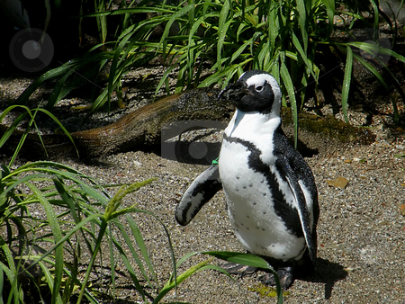Magellanic Penguin stock photo, Magellanic Penguin - a South American Penguin. by Dazz Lee Photography