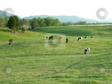 Grazing Beef Cattle stock photo, A beef herd grazing the fresh spring pasture in front of a greening tree line in the cool of the evening, all the more, positioned in front of The Great Smoky Mountains. by Krystal McCammon