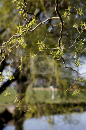 Tree Buds stock photo, Tree Buds in Afternoon Spring Light by Terise Slotkin