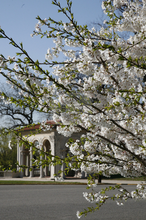 Cherry Blossoms in Spring stock photo, Cherry Blossoms with Classical Columns by Terise Slotkin