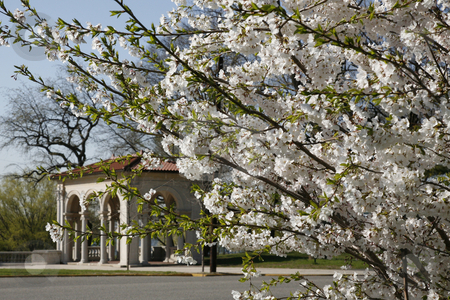 Springtime  stock photo, Cherry Blossoms and Classical Structure by Terise Slotkin
