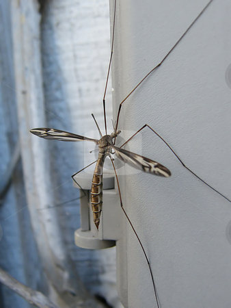 Large Crane Fly - Close Up stock photo, Large Crane Fly - Close Up, resting upon a utiltiy meter box located on the side of a house in Northwest Ohio. Often refered to as a mosqiuto hawk or Daddy Long-Legs in Irelnand, Australia, Africa, and the United Kingdom. by Dazz Lee Photography