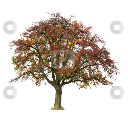 Apple Tree stock photo, Apple Tree isolated against a white background by Jan Martin Will