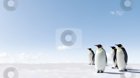 Penguins stock photo, Emperor Penguins in Antacrctica by Jan Martin Will