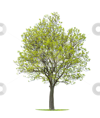 Tree on white background stock photo,  by Jan Martin Will