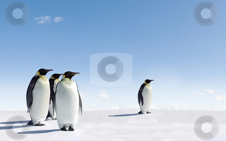 Penguins stock photo, Emperor Penguins in Antarctica by Jan Martin Will