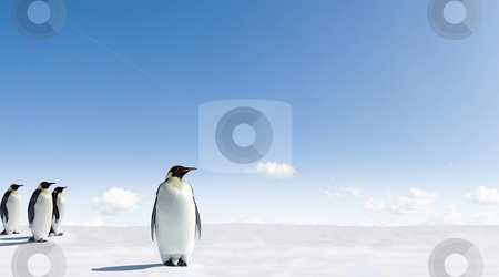 Emperor Penguins stock photo, Emperor Penguins in Antarctica by Jan Martin Will
