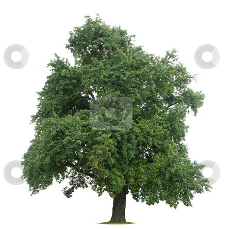 Isolated Tree stock photo, Isolated tree against a white backgorund by Jan Martin Will