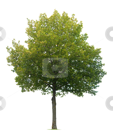 Isolated Linden Tree stock photo, Linden Tree isolated on white by Jan Martin Will