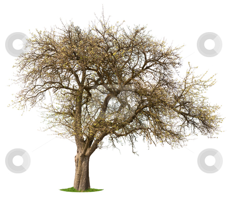 Apple Tree stock photo, Apple tree in early Spring isolated against white by Jan Martin Will