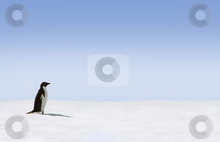 Adelie Penguin stock photo, Adelie Penguin in Antarctica by Jan Martin Will