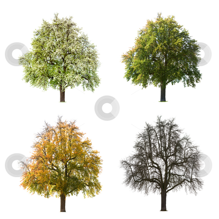 Pear Tree Seasons stock photo, A Pear tree isolated against a white background in different seasons by Jan Martin Will