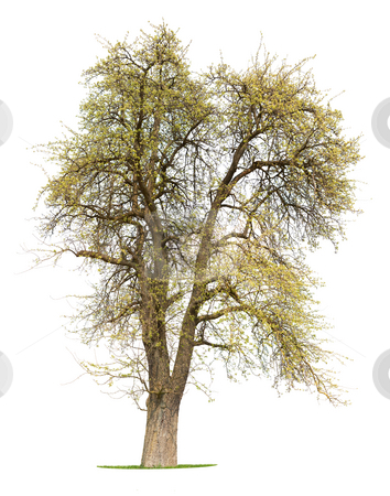 Apple Tree stock photo, ?solated Apple Tree in early spring in Germany by Jan Martin Will