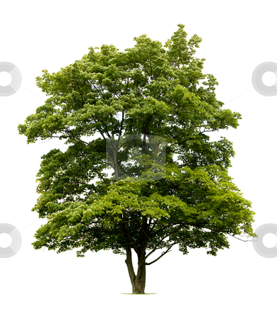 Isolated Tree stock photo, Tree isolated against a white background by Jan Martin Will