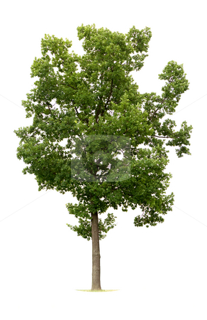 Isolated Tree stock photo, Tree isolated against white by Jan Martin Will