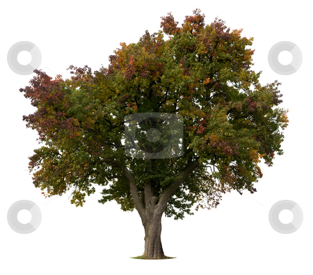Isolated Apple Tree stock photo, Isolated Apple Tree in early Fall by Jan Martin Will