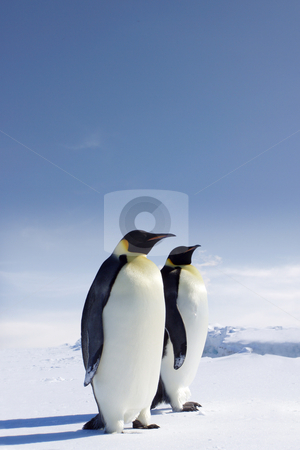 Two penguins on ice stock photo,  by Jan Martin Will