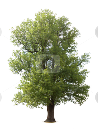 Huge Isolated Tree stock photo, Huge isolated old tree by Jan Martin Will