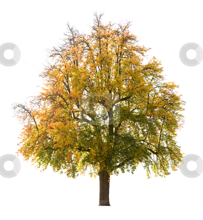 Isolated Pear tree stock photo, Isolated pear tree in Autumn, early October by Jan Martin Will