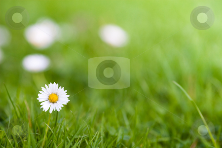Daisy stock photo, Daisy on a meadow with shallow depth of field by Jan Martin Will