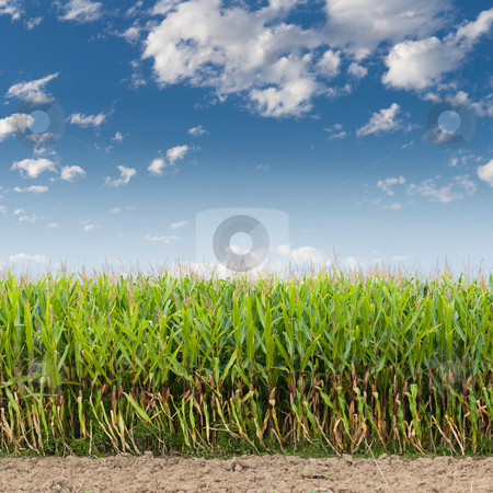 Corn Field stock photo, Cornfield against a blue sky by Jan Martin Will