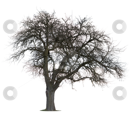 Isolated Apple Tree stock photo, Isolated Apple Tree in Winter by Jan Martin Will
