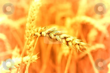 Closeup of wheat field stock photo,  by Jan Martin Will