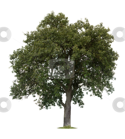 Isolated Apple Tree stock photo, Isolated apple tree against a white backgorund by Jan Martin Will