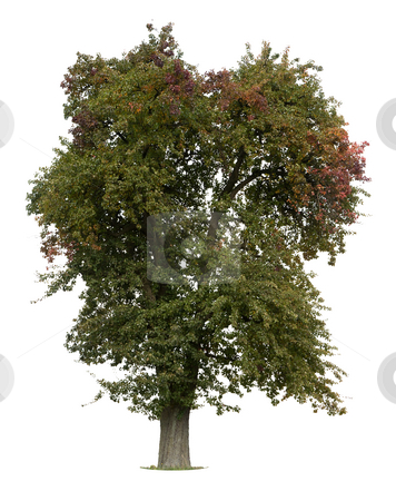Apple Tree stock photo, Apple Tree in early Fall isolated against white by Jan Martin Will