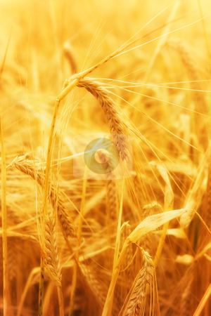 Wheat stock photo, Golden glowing wheat field in Germany by Jan Martin Will