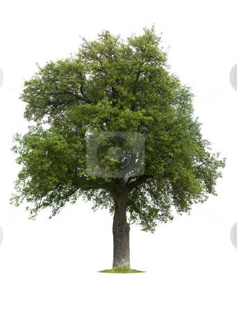One tree on white stock photo,  by Jan Martin Will