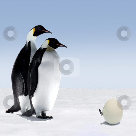Penguin Family stock photo, Penguin Mother and Father are Watching a Penguin Baby Getting out of its Egg by Jan Martin Will