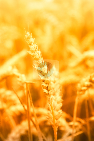 Farming stock photo, Close-up of a golden corn field by Jan Martin Will