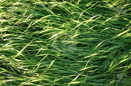 Long wild grass stock photo, Long wild grass by Stephen Rees