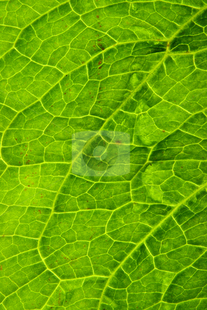 Close up detail of a green leaf. stock photo, Close up detail of a green leaf. by Stephen Rees