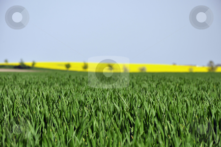 Biocultivation stock photo, Green grain stalks with rape field in the background
