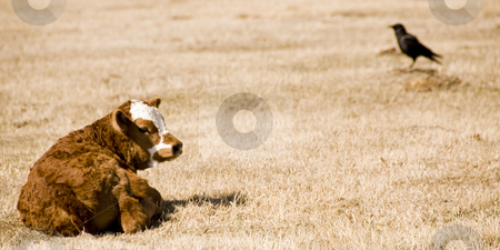 Calf stock photo, One young calf on the meadow with a crow in the background by Wolfgang Zintl