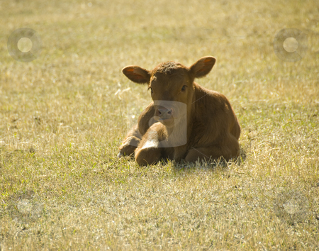 Young calf stock photo, Young calf enjoying the sun on the meadow by Wolfgang Zintl