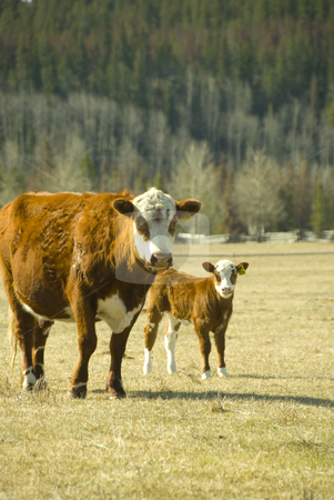 Cow and calf stock photo, Cow with youn calf on the meadow by Wolfgang Zintl