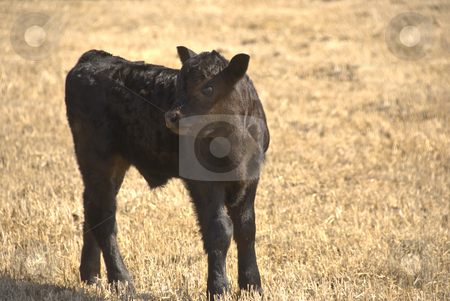 Black calf stock photo, Small black calf on the meadow by himself by Wolfgang Zintl