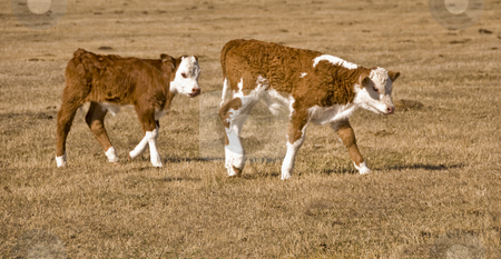 Two calf stock photo, Brother and sister calfs together on the meadow by Wolfgang Zintl