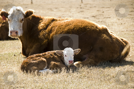 Cow and calf stock photo, Mother cow with a her calf on the meadow by Wolfgang Zintl
