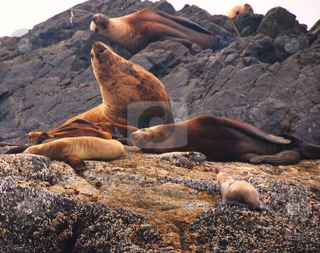 Sealion stock photo, Sealion sleeping on the beach by Wolfgang Zintl