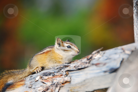 Chipmonk stock photo, Little chipmonk close up on a tree by Wolfgang Zintl