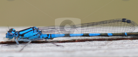 Dragon fly stock photo, Blue dragon fly close up by Wolfgang Zintl