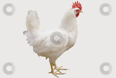 White chicken stock photo, White chicken isolated on a white background by Wolfgang Zintl