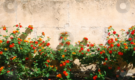 Flower wall stock photo, Wall with red flowers in front by Wolfgang Zintl